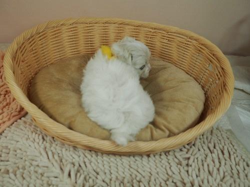 マルチーズの子犬(ID:1255511130)の4枚目の写真/更新日:2021-02-25