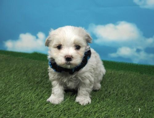 マルチーズの子犬(ID:1255511131)の1枚目の写真/更新日:2021-03-18