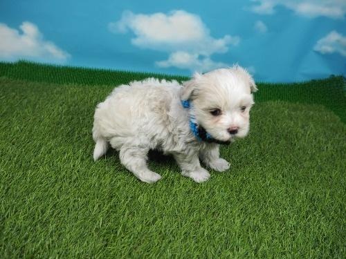 マルチーズの子犬(ID:1255511131)の2枚目の写真/更新日:2021-03-18