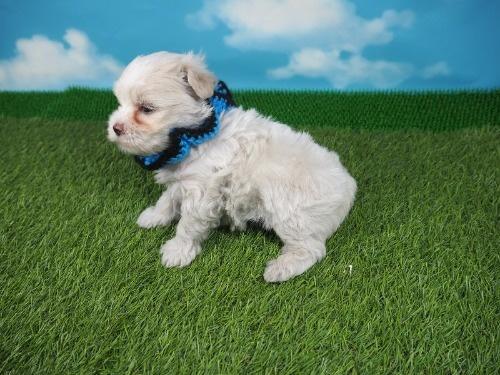 マルチーズの子犬(ID:1255511131)の3枚目の写真/更新日:2021-03-18