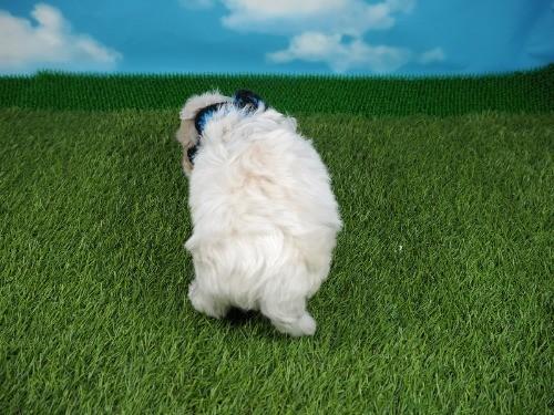 マルチーズの子犬(ID:1255511131)の4枚目の写真/更新日:2021-03-18