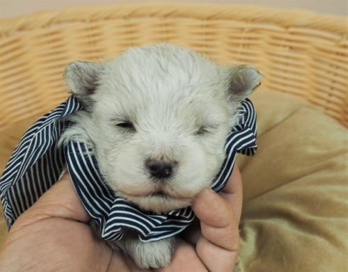 マルチーズの子犬(ID:1255511132)の1枚目の写真/更新日:2021-03-18