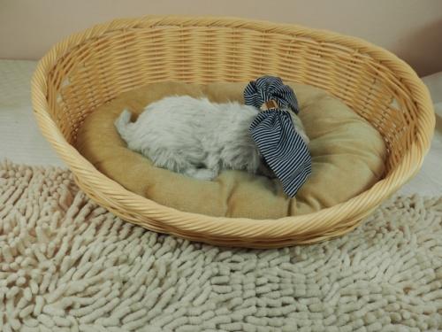 マルチーズの子犬(ID:1255511132)の2枚目の写真/更新日:2021-03-18