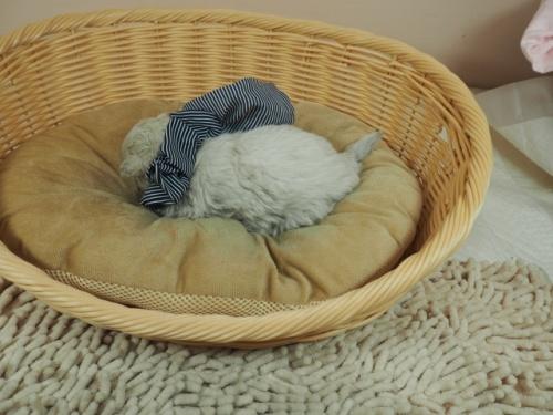 マルチーズの子犬(ID:1255511132)の3枚目の写真/更新日:2021-03-18