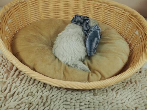 マルチーズの子犬(ID:1255511132)の4枚目の写真/更新日:2021-03-18