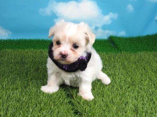 マルチーズの子犬(ID:1255511133)の1枚目の写真/更新日:2018-06-19