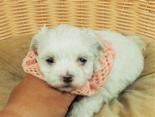 マルチーズの子犬(ID:1255511133)の5枚目の写真/更新日:2021-07-29