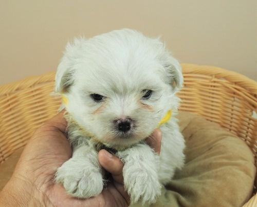 マルチーズの子犬(ID:1255511142)の1枚目の写真/更新日:2018-05-28