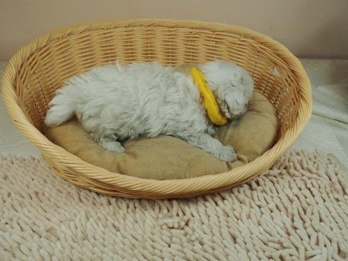 マルチーズの子犬(ID:1255511142)の2枚目の写真/更新日:2018-05-28
