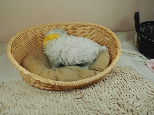マルチーズの子犬(ID:1255511142)の3枚目の写真/更新日:2018-05-28