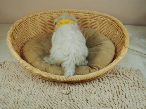 マルチーズの子犬(ID:1255511142)の4枚目の写真/更新日:2021-06-30