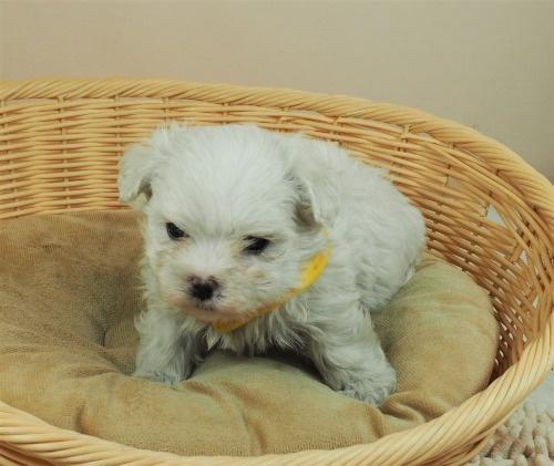 マルチーズの子犬(ID:1255511142)の5枚目の写真/更新日:2021-06-30