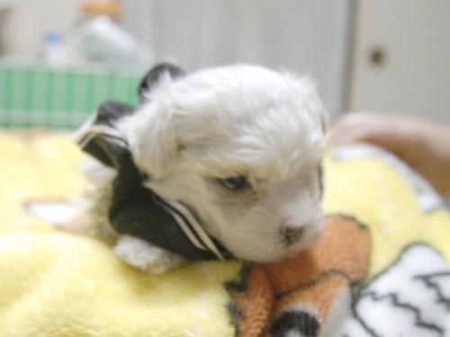 マルチーズの子犬(ID:1255511143)の1枚目の写真/更新日:2018-06-11