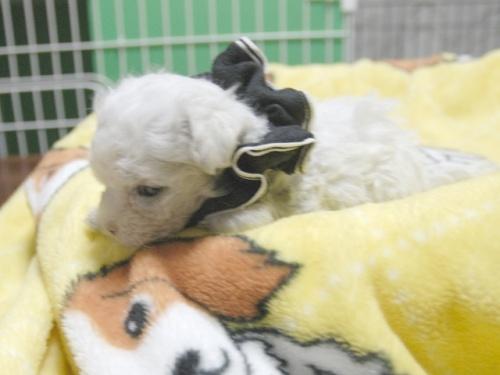 マルチーズの子犬(ID:1255511143)の2枚目の写真/更新日:2018-06-11