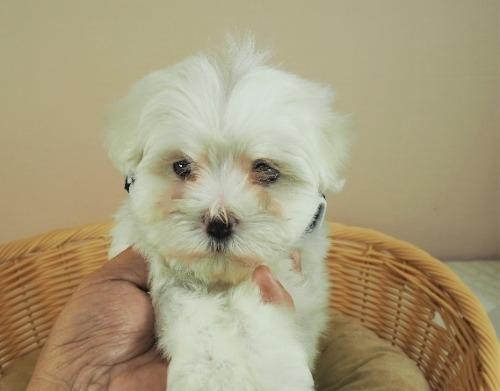 マルチーズの子犬(ID:1255511155)の1枚目の写真/更新日:2018-05-28