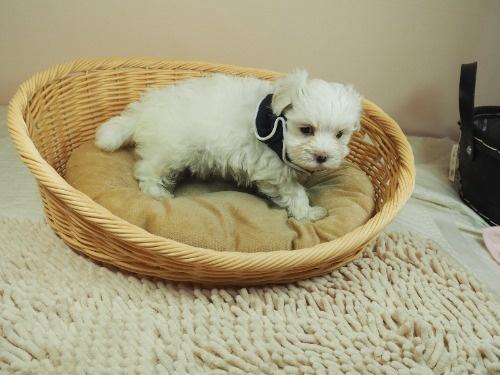 マルチーズの子犬(ID:1255511155)の2枚目の写真/更新日:2018-05-28