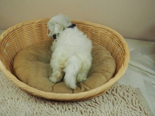 マルチーズの子犬(ID:1255511155)の4枚目の写真/更新日:2021-07-29