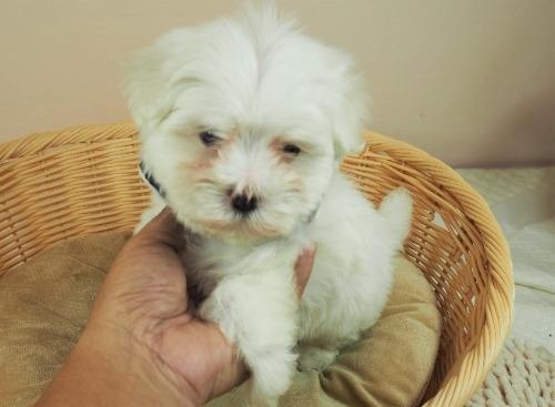 マルチーズの子犬(ID:1255511155)の5枚目の写真/更新日:2021-07-29