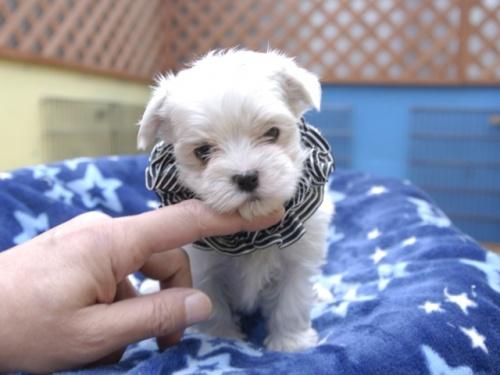 マルチーズの子犬(ID:1255511156)の1枚目の写真/更新日:2018-06-19