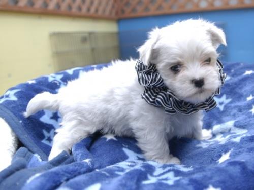 マルチーズの子犬(ID:1255511156)の2枚目の写真/更新日:2018-06-19