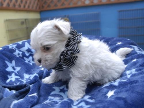 マルチーズの子犬(ID:1255511156)の3枚目の写真/更新日:2018-06-19