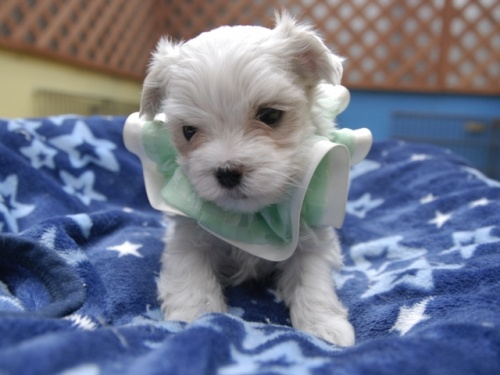 マルチーズの子犬(ID:1255511157)の1枚目の写真/更新日:2018-06-19