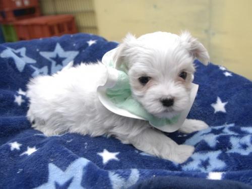 マルチーズの子犬(ID:1255511157)の2枚目の写真/更新日:2018-06-19