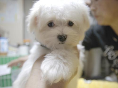 マルチーズの子犬(ID:1255511160)の1枚目の写真/更新日:2018-07-19