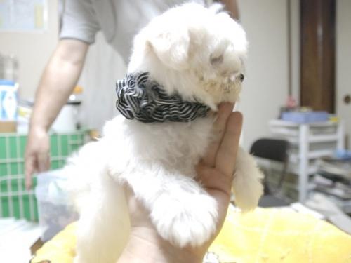 マルチーズの子犬(ID:1255511160)の2枚目の写真/更新日:2018-07-19