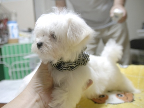 マルチーズの子犬(ID:1255511160)の3枚目の写真/更新日:2018-07-19