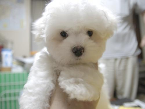 マルチーズの子犬(ID:1255511161)の1枚目の写真/更新日:2018-07-19