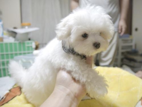 マルチーズの子犬(ID:1255511161)の2枚目の写真/更新日:2018-07-19