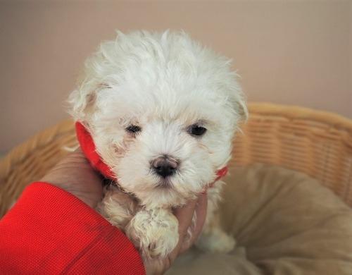 マルチーズの子犬(ID:1255511162)の5枚目の写真/更新日:2021-10-20