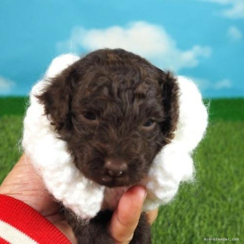 トイプードルの子犬(ID:1255511164)の1枚目の写真/更新日:2020-10-17