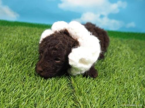 トイプードルの子犬(ID:1255511164)の5枚目の写真/更新日:2020-10-12
