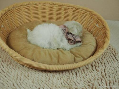 マルチーズの子犬(ID:1255511166)の2枚目の写真/更新日:2021-03-18