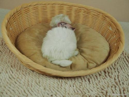 マルチーズの子犬(ID:1255511166)の4枚目の写真/更新日:2021-03-18