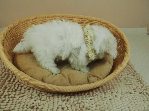 マルチーズの子犬(ID:1255511167)の2枚目の写真/更新日:2021-03-18
