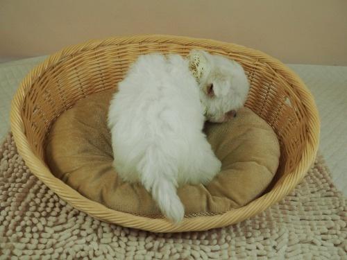 マルチーズの子犬(ID:1255511167)の4枚目の写真/更新日:2021-03-18