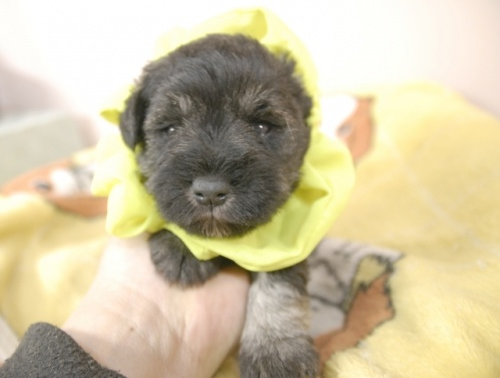 ミニチュアシュナウザーの子犬(ID:1255511169)の1枚目の写真/更新日:2020-04-03