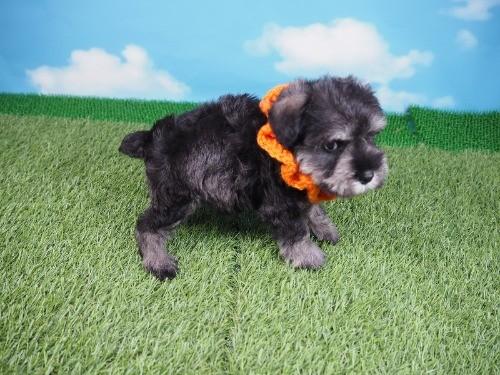 ミニチュアシュナウザーの子犬(ID:1255511169)の2枚目の写真/更新日:2020-04-03