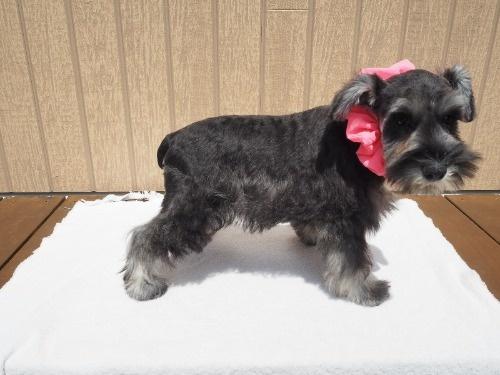 ミニチュアシュナウザーの子犬(ID:1255511170)の2枚目の写真/更新日:2020-01-07