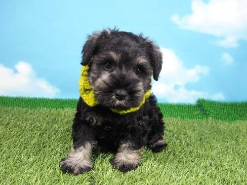 ミニチュアシュナウザーの子犬(ID:1255511171)の1枚目の写真/更新日:2019-11-08