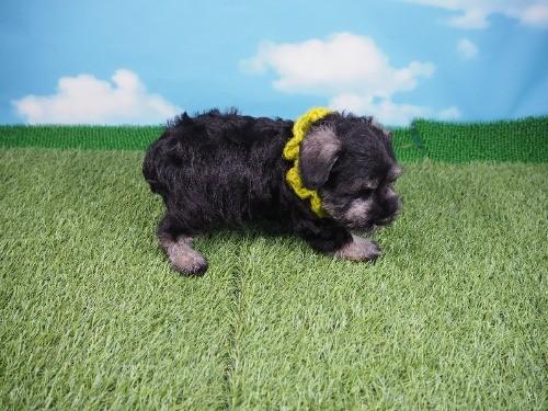 ミニチュアシュナウザーの子犬(ID:1255511171)の2枚目の写真/更新日:2019-11-08