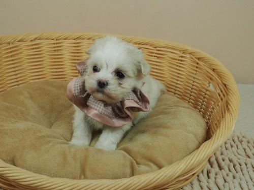 マルチーズの子犬(ID:1255511179)の1枚目の写真/更新日:2021-03-10