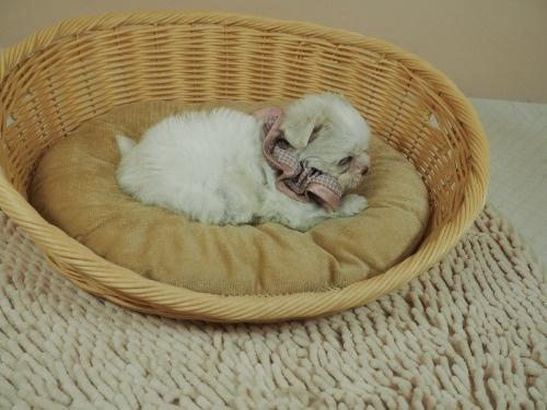 マルチーズの子犬(ID:1255511179)の2枚目の写真/更新日:2021-03-10