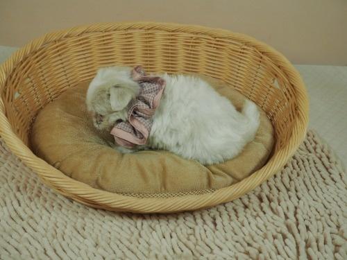 マルチーズの子犬(ID:1255511179)の3枚目の写真/更新日:2021-03-10