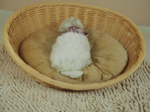 マルチーズの子犬(ID:1255511179)の4枚目の写真/更新日:2021-03-10