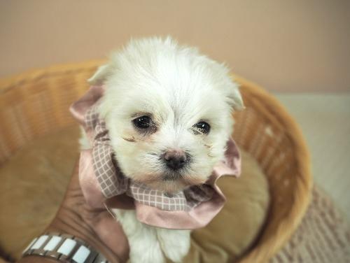 マルチーズの子犬(ID:1255511179)の5枚目の写真/更新日:2021-03-10