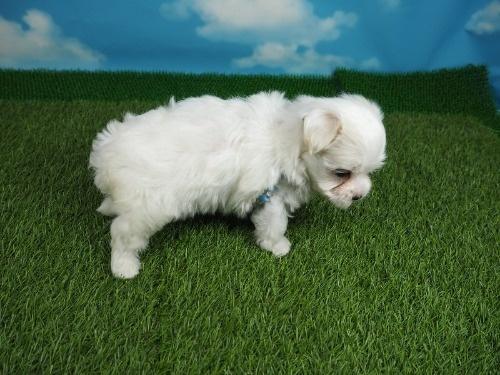 マルチーズの子犬(ID:1255511180)の2枚目の写真/更新日:2021-03-18